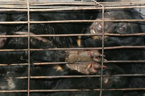 Bear caged in a private bear farm in China's southwest Sichuan Province. (China Photos/Getty Image)