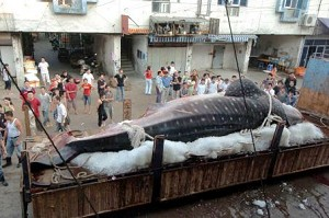 In the early morning of September 13, 2007, Lianjiang, a fishmen, caught a giant whale shark. (Epoch Times Archive)