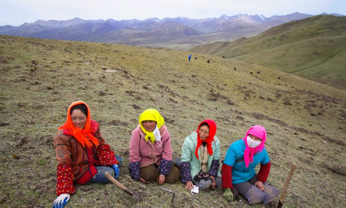 Nomads rest as they dig for Chinese caterpillar fungus from a mountain in Guide County, Hainan Prefecture, Qinghai Province, China. Nomads can earn about 2,000 yuan to 5,000 yuan (about U.S. $260 to $653 ) through their work during the fifty-day Chinese caterpillar fungus gathering season. Chinese caterpillar fungus, about U.S. $600 per pound, is also called Cordyceps Sinensis Mushroom. The fungus multiples by parasitizing insect larvae, forming hypha and maturing outside the larva. The fungus exists in mountains and meadows with an altitude of 9,840 to 16,400 feet. Caterpillar fungus is highly valued in Chinese medicine and used in drugs to restore energy, promote longevity and stimulate the immune system, however, because of excessive exploitation, the Chinese caterpillar fungus resource has been destroyed and has become increasingly rare. The Chinese government has restricted the digging of the fungus. (China Photos/Getty Images)
