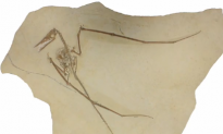 Complete Pterosaur Fossil Found – Food, Feces and All (Video)
