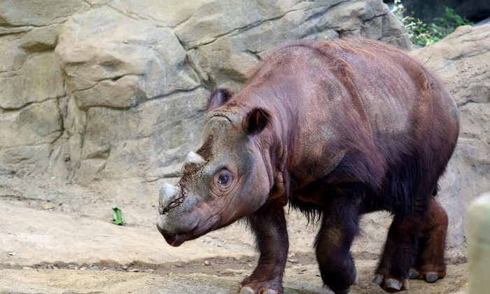 Harapan, a Sumatran rhino enters his Wildlife Canyon at the Cincinnati Zoo and Botanical Gardens Tuesday, Aug. 25, 2015, in Cincinnati.  (Cara Owsley /The Cincinnati Enquirer via AP)