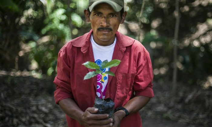 Nicaraguan coffee grower Isacio Lopez, 40, shows one of the new coffee plants he will use to replace the rust blighted ones at a plantation near Somoto, 200km from Managua on February 26, 2014. (Inti Ocon/AFP/Getty Images)