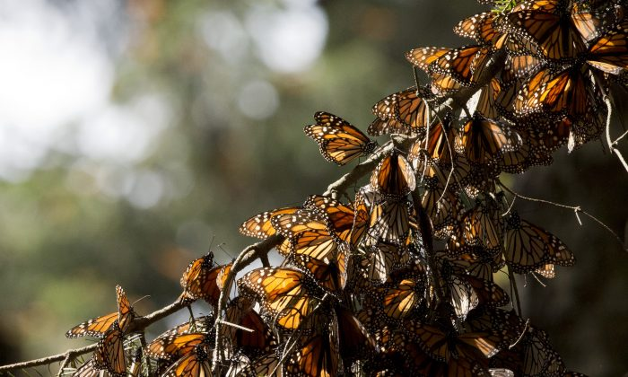 FILE - In this Jan. 4, 2015 file photo, a kaleidoscope of Monarch butterflies hang from a tree branch, in the Piedra Herrada sanctuary, near Valle de Bravo, Mexico. (AP Photo/Rebecca Blackwell, File)