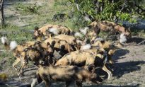 Trailing the Elusive African Wild Dog