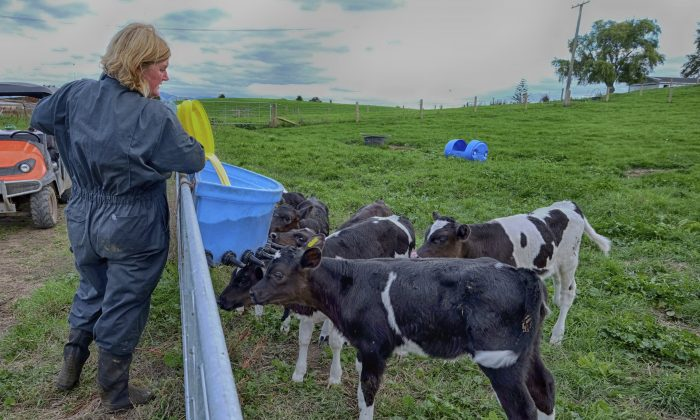 """""""The socioemotional part is that these family members feel an attachment to the dairy farm,"""" says Loren Tauer. """"It's a warm and fuzzy feeling."""" (JESP62/iStock)"""