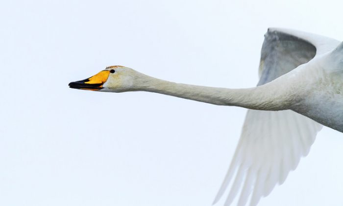 A swan's neck works like a car's suspension system, offering a smooth ride over a bumpy road. (porojnicu/iStock)