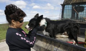 Specially Trained Dogs Help out Farmers With Disabilities