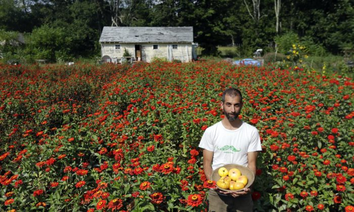 Ken Greene, a co-founder of the Hudson Valley Seed Library, with Summer Sunrise tomatoes in a field of Gift Zinnia in Accord, N.Y. on Sept. 1, 2015. The small business 70 miles north New York City makes seeds the old fashioned way. (AP Photo/Mike Groll)
