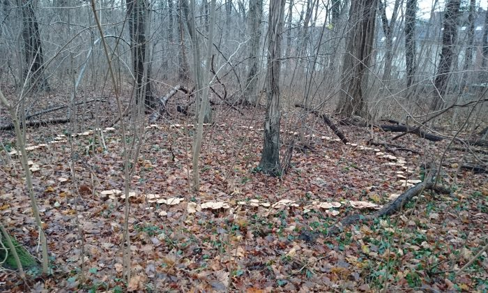 A mushroom ring in the woods. (Alison Chaiken, Flickr/CC BY-SA*)