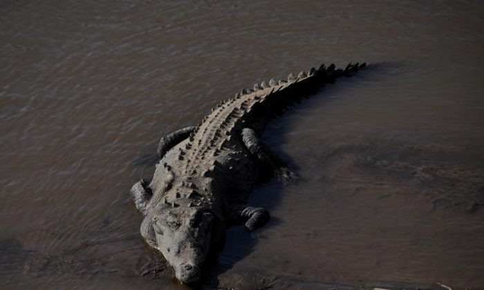 A crocodile rests on the banks of Tarcoles River in the province of Puntarenas in Costa Rica some 90 kilometers south of San Jose on Dec. 5, 2010. (Yuri Cortez/AFP/Getty Images)