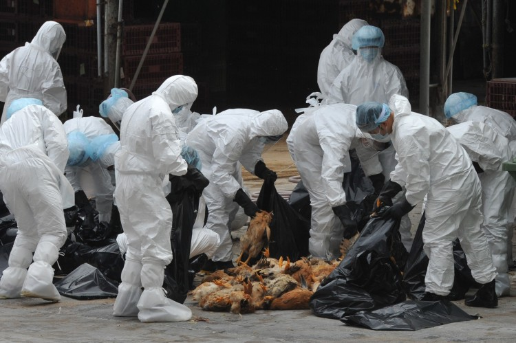 Hong Kong H5N1 Workers place dead chickens into plastic bags