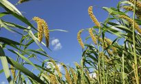Drought Could Turn Millet Into American Food