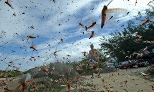 'We Are Walking on Locust Carpets': Plague of Locusts Destroy Crops in Italy