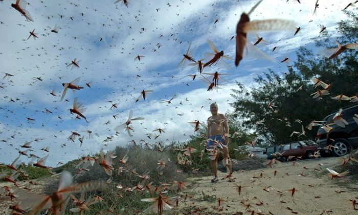 A man stands in a large cloud of locusts, 29 November 2004 around Corralejo in the north of the island of Fuerteventura, in Spain's Canary Islands. (Samuel Aranda/AFP/Getty Images)