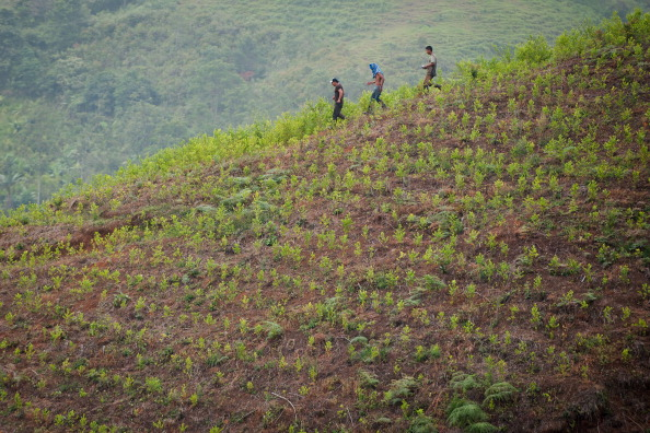 TO GO WITH AFP HISTORY BY GUILLERMO BARROS  Farmers walk across a coca plantation in the mountains of the department of Cauca, Colombia, on June 21, 2012. (LUIS ROBAYO/AFP/GettyImages)