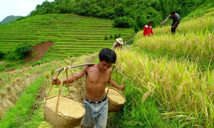 A farmer carries rice near Dachaoshan dam Aug. 28, 2001 in Shandi village, Yunnan Province, China. (AP Photo/Eugene Hoshiko)