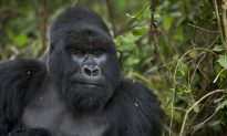 Gorilla Shot and Killed After 4-Year-Old Boy Enters Zoo Enclosure