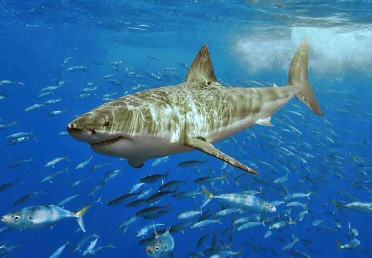 POPULATION IN DECLINE? A census of a great white shark population finds that the population is much smaller than expected. (Terry Goss/Wikimedia Commons)