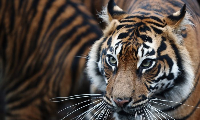 A Sumatran Tiger at ZSL London Zoo on Jan. 5, 2015 in London, England. A A Sumatran Tiger killed a zookeeper in New Zealand on Sept. 20, 2015. (Dan Kitwood/Getty Images)