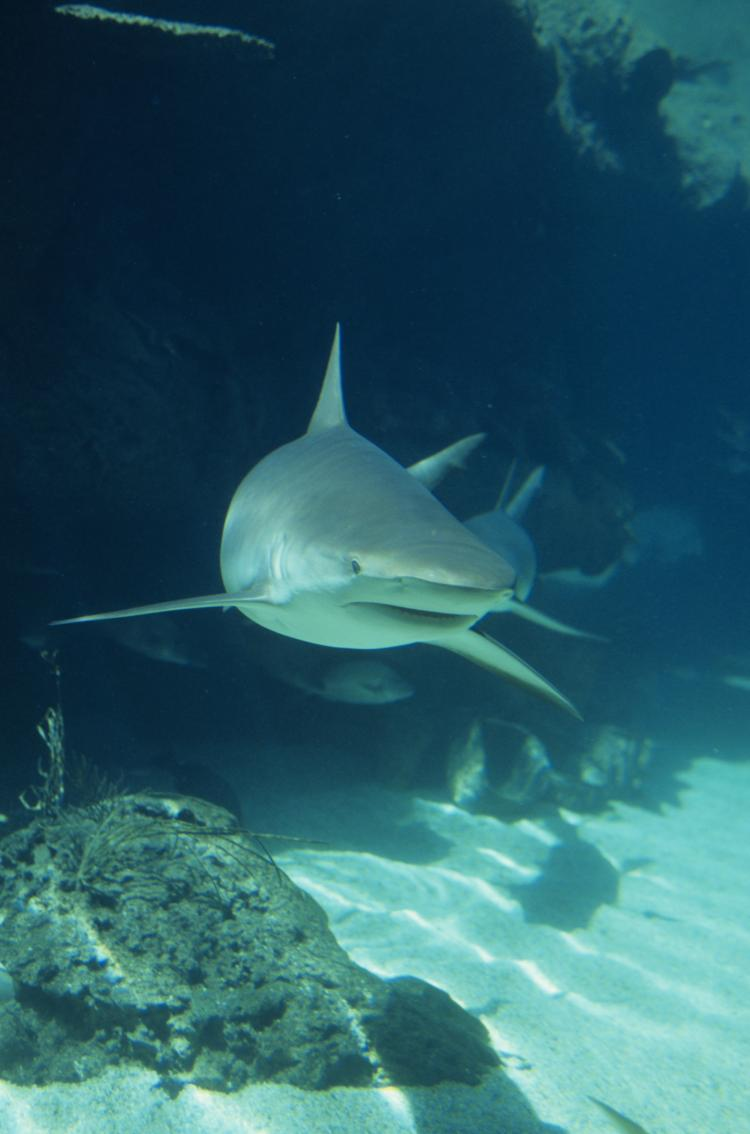 SHARKS' EYESIGHT: Researchers found that sharks are color blind. (Photos.com)