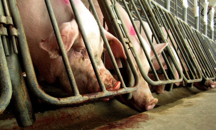 """Female pigs in restrictive """"gestation crates,"""" some of which had bitten at the bars so much that their blood can be seen on the bars and below. This was taken by an investigator with the Human Society of the United States, who worked inside the Virginia factory farm for one month. (HSUS)"""