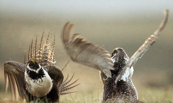 In this May 9, 2008, file photo, male sage grouses fight for the attention of female southwest of Rawlins, Wyo. (AP Photo/Rawlins Daily Times, Jerret Raffety)