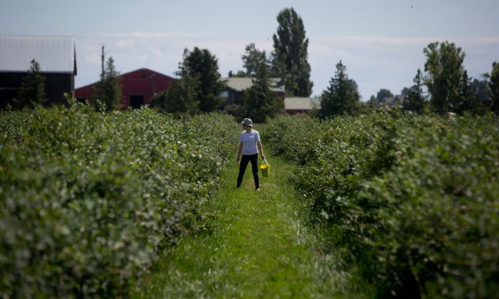 A woman picks blueberries at Emma Lea Farms in Ladner, B.C., on July 21, 2014. A new report warns that policy makers have been neglecting rural issues, resulting in negative consequences for the economy and smaller communities. (The Canadian Press/Darryl Dyck)