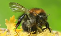 Fewer Flowers Mean Bumblebee Tongues Are Shrinking