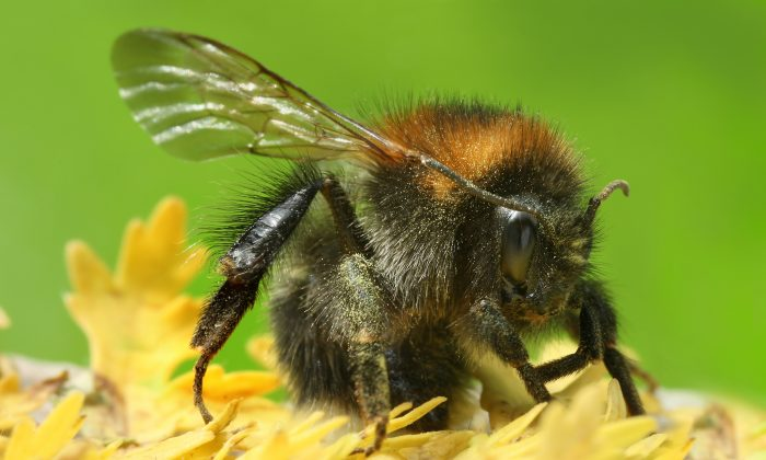 """""""We are not saying climate change isn't a problem for bumblebees—it is a major problem,"""" says Candace Galen. """"However, these findings indicate that some bumblebees may be able to adapt."""" Pictured above: As Bombus pascuorum. (Richard Bartz, Munich Makro Freak/CC BY-SA 2.5 via Wikimedia Commons)"""