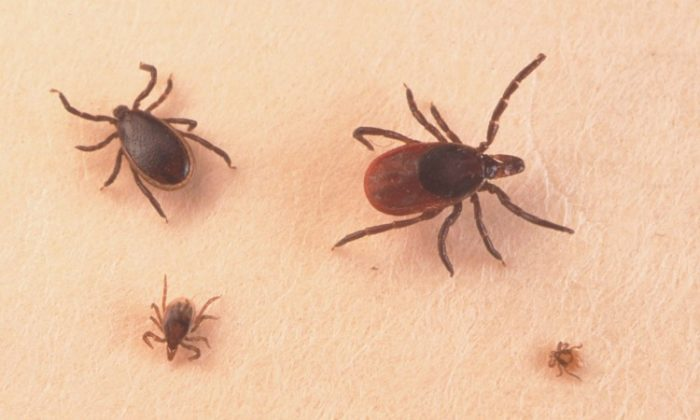 A stock photo of ticks (Getty Images)