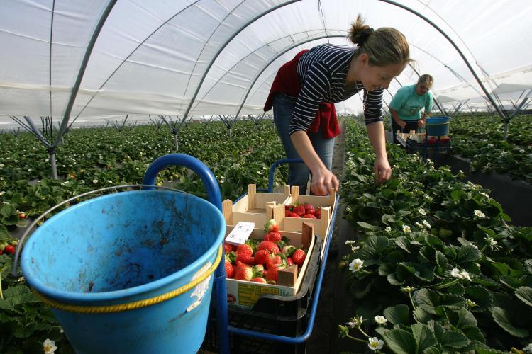 Bulgarian female worker at a strawberry greenhouse, in Palos de la Frontera, Huelva, southern Spain. (SAMUEL ARANDA/AFP/Getty Images)