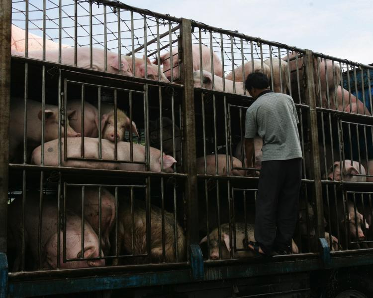 A worker checks pigs to be transported to South China's Guangdong Province on a truck in  2007 in Yichang of Hubei Province, China. Recently a meat processing plant in Conghua city, Guangdong Province, found 24 pigs containing the drug ractopamine, a banned chemical agent in China that increases protein synthesis. (China/Getty Images )