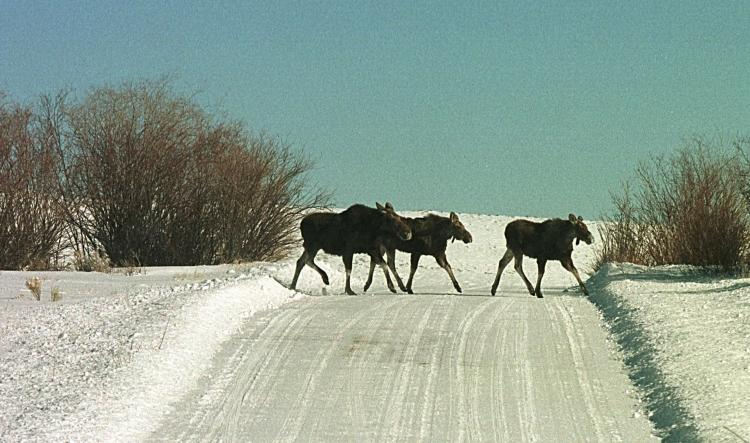 Three moose walk across a road in Pinedale, Wyoming. A Canadian team has made the short list in an international design competition to help solve the problem of dangerous roadway collisions between wildlife and vehicles. (Michael Smith/Newsmakers)