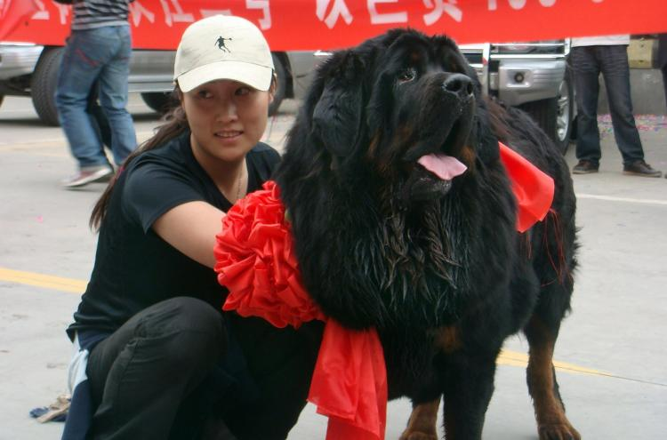 A Tibetan Mastiff was sold for $600,000 to a wealthy Chinese woman identified by the surname Wang. Mrs. Wang poses with her new dog at the Xi'an airport. (STR/AFP/Getty Images)