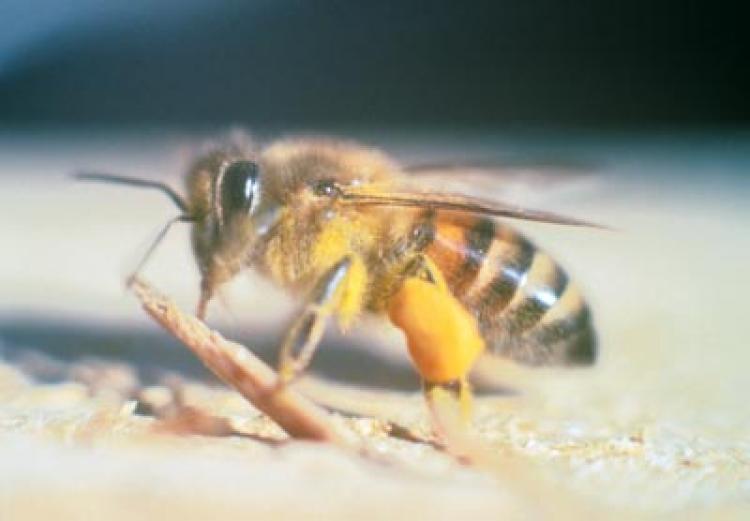 Side view of the africanized honey bee. (Sdcounty.ca.gov via Wikimedia)