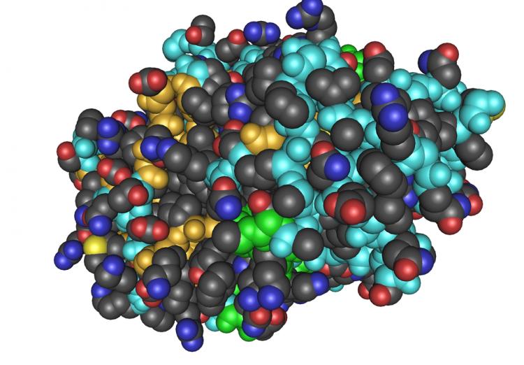 A thrombin molecule
