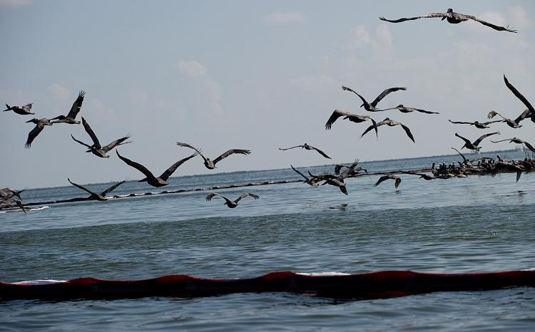 Brown and white pelicans take flight over oil soaked containment booms float near the Pelican Rookery off of Queen Bess Island, near Grand Isle, Louisiana, June 10, 2010, in an area affected by the BP Deepwater Horizon oil spill. (Saul Loeb/AFP/Getty Images)