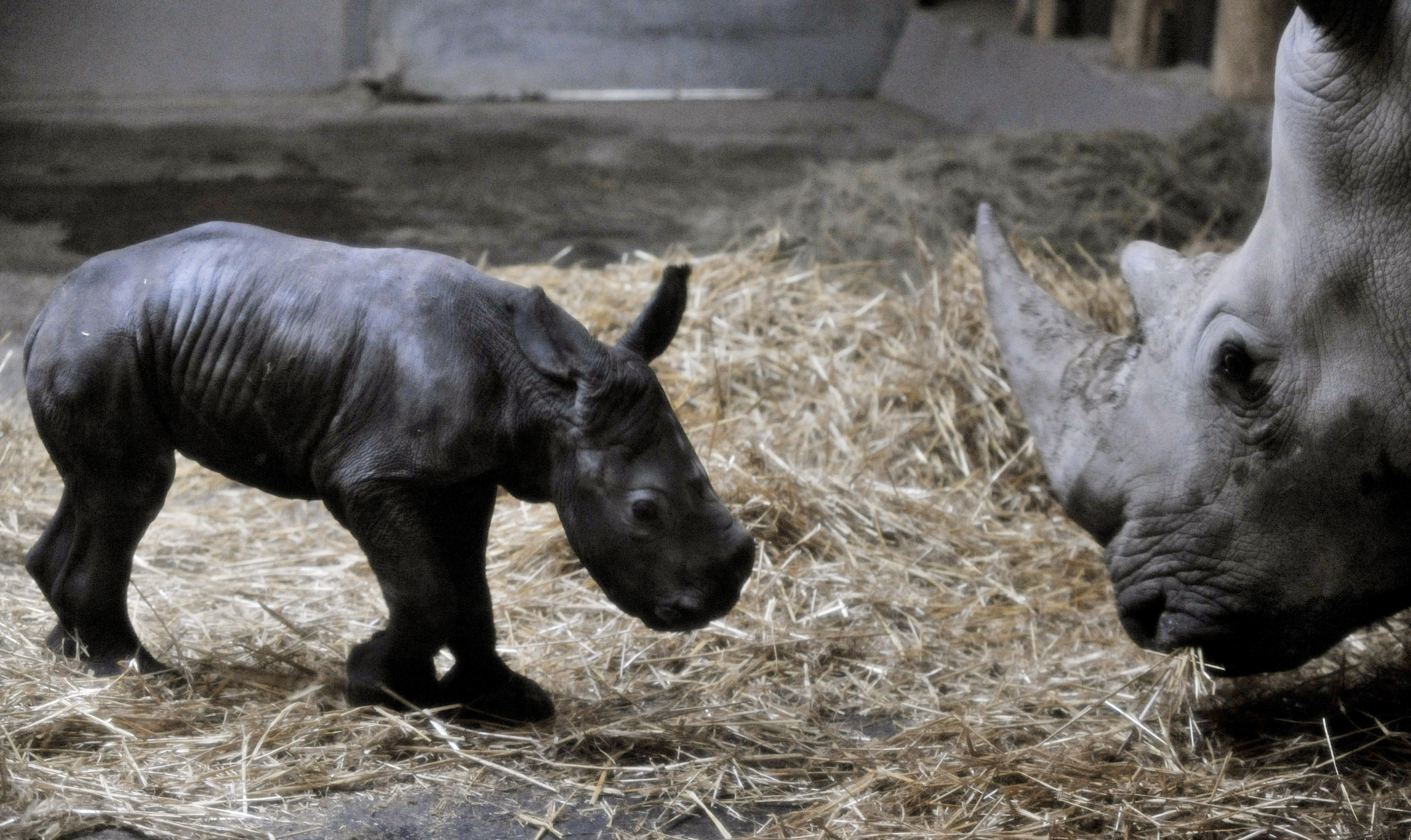 The white rhino baby and his mother in the Budapest Zoo. The rhino was conceived using artificial insemination and �cryopreserved� rhino sperm. (Bela Szandelszky)