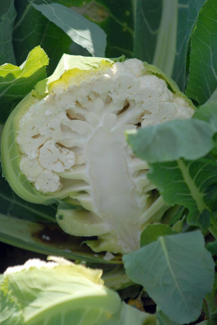 A cauliflower plant cut in half. Cauliflower plants can be harvested from early spring in to late autumn. (Henning Kaiser/AFP/Getty Images)