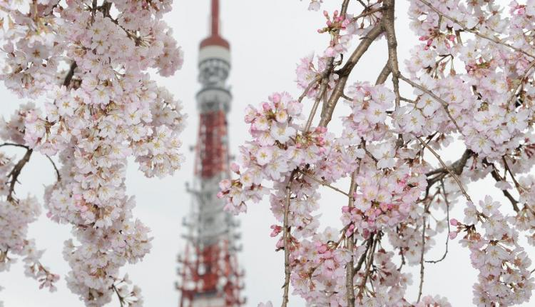 The Tokyo Tower is seen behind cherry blossoms in full bloom in downtown Tokyo on March 28, 2010. (Toru Yamanaka/AFP/Getty Images)