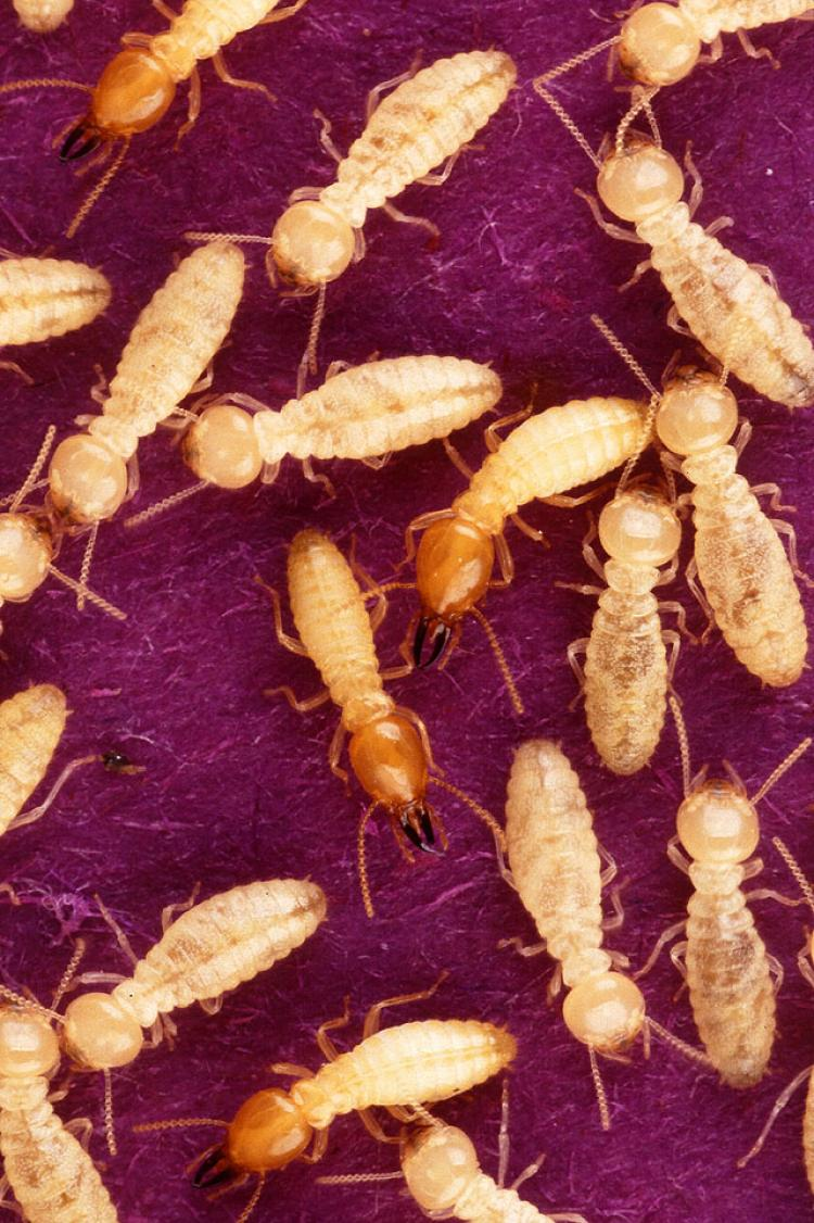 Termites ate around $200,000 worth of Indian rupees. (Wikimedia Commons)
