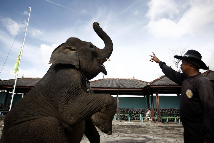 Elephant receives training from elephant keeper for circus performance.