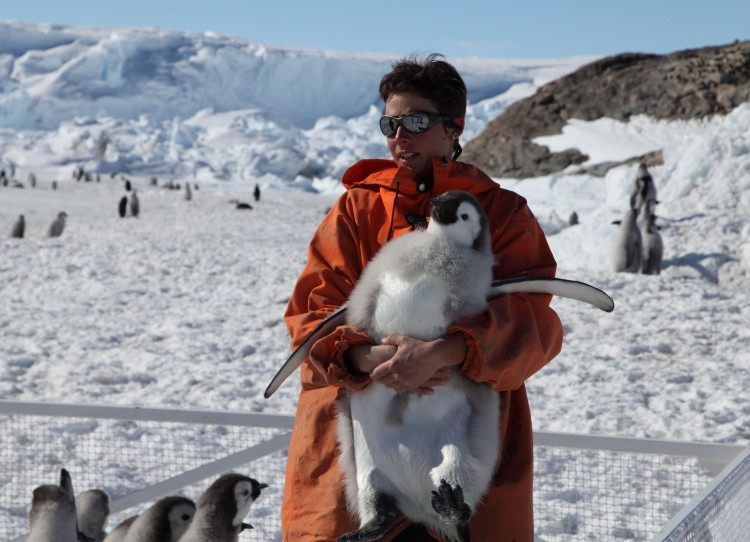 Biologist Stephanie Jenouvrier readies an Emperor penguin chick (about five months old) for tagging during fieldwork in December 2011 in Terre Adélie. (Courtesy of Stephanie Jenouvrier/Woods Hole Oceanographic Institution)