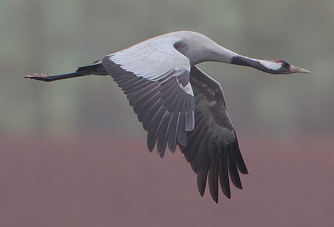 Eurasian crane, also known as common crane