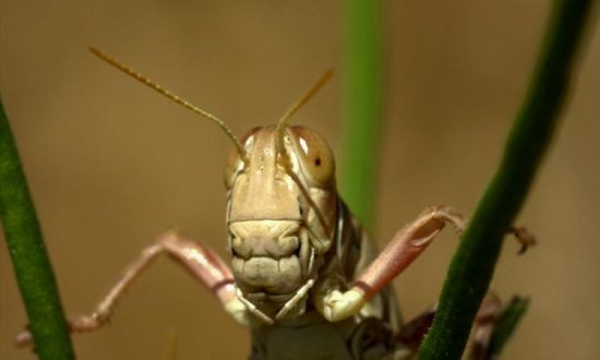 Authorities Say Las Vegas Grasshopper Invasion Is 'Mostly Harmless'