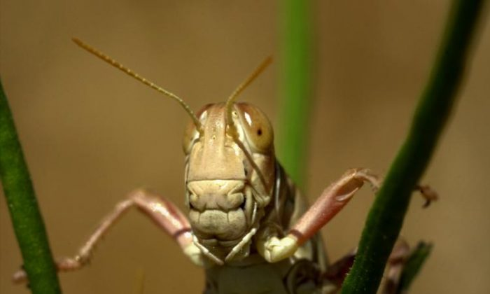 File photo of a grasshopper. (David McNew/Getty Images)