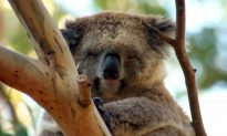 How Do Koalas Drink? Not the Way You Might Think