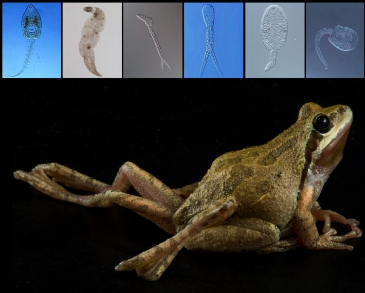 A new University of Colorado study shows increases in parasite diversity can benefit the health and survival of amphibians.(Frog image copyright David Herasimtschuk, Freshwaters Illustrated. Parasite images courtesy Pieter Johnson, University of Colorado.)