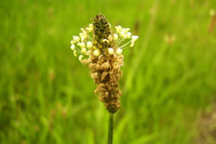 Ribwort Plantain flower (A. Kern/www.pixelio.de)