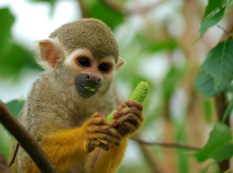 Squirrel Monkeys spend most of their time in the trees